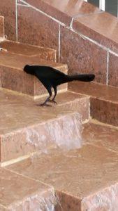 Cuervo tomando agua