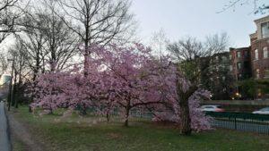 árbol rosa